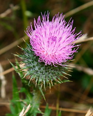 Thistles - Photo (c) Bill Bumgarner, some rights reserved (CC BY-NC-ND)