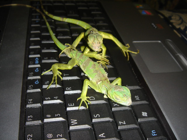 Iguanas from Flickr via Wylio