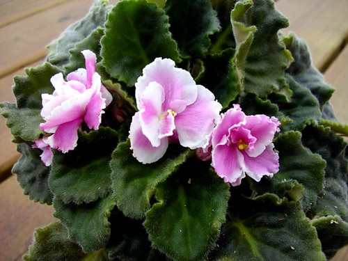 Pink African Violets | Flickr - Photo Sharing!