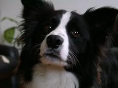 phalã¨ne(0.0), border collie(1.0), dog breed(1.0), animal(1.0), dog(1.0), pet(1.0), karelian bear dog(1.0), papillon(1.0), carnivoran(1.0),