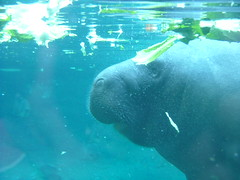 animal(1.0), marine mammal(1.0), sea(1.0), manatee(1.0), marine biology(1.0), underwater(1.0),