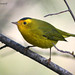 Wilson's Warbler - Photo (c) Michael Woodruff, some rights reserved (CC BY)