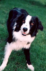 appenzeller sennenhund(0.0), entlebucher mountain dog(0.0), border collie(1.0), dog breed(1.0), animal(1.0), dog(1.0), pet(1.0), miniature australian shepherd(1.0), australian shepherd(1.0), english shepherd(1.0), carnivoran(1.0),