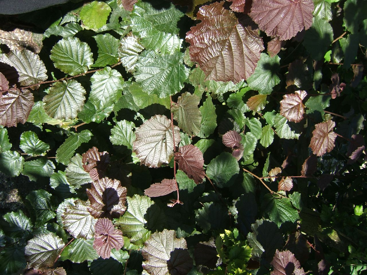 23 purple leaves: