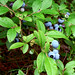 Blueberries by the_girl