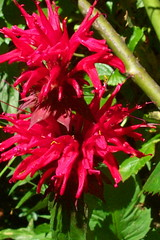 annual plant, flower, bee balm, scarlet beebalm, wildflower, flora,