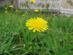 field(0.0), chamaemelum nobile(0.0), daisy(0.0), herb(0.0), annual plant(1.0), prairie(1.0), dandelion(1.0), flower(1.0), grass(1.0), yellow(1.0), plant(1.0), nature(1.0), flatweed(1.0), wildflower(1.0), flora(1.0), green(1.0), oxeye daisy(1.0), daisy(1.0),