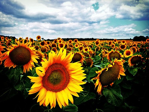 sunflowers ★