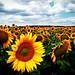 sunflowers ★ by *helmen