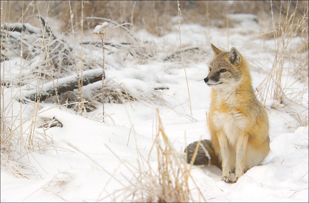Swift fox in the snow, AB
