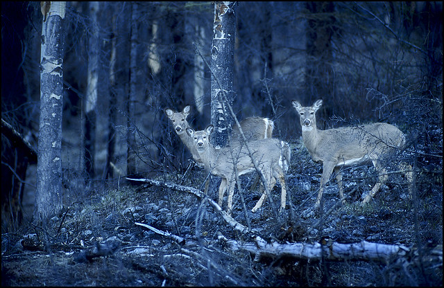 White tail deer in early morning