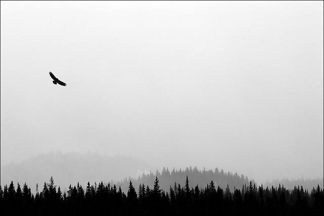 Eagle in Snow Squall