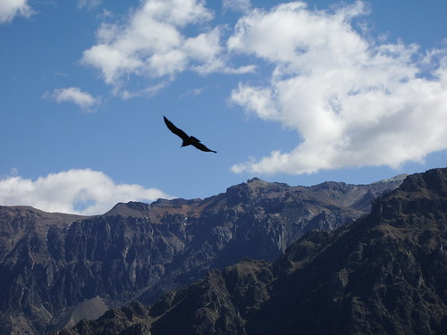 Bloody great condor in the Colca Canyon