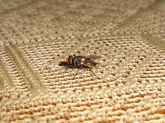 Se como matar moscas y te lo muestro Lince