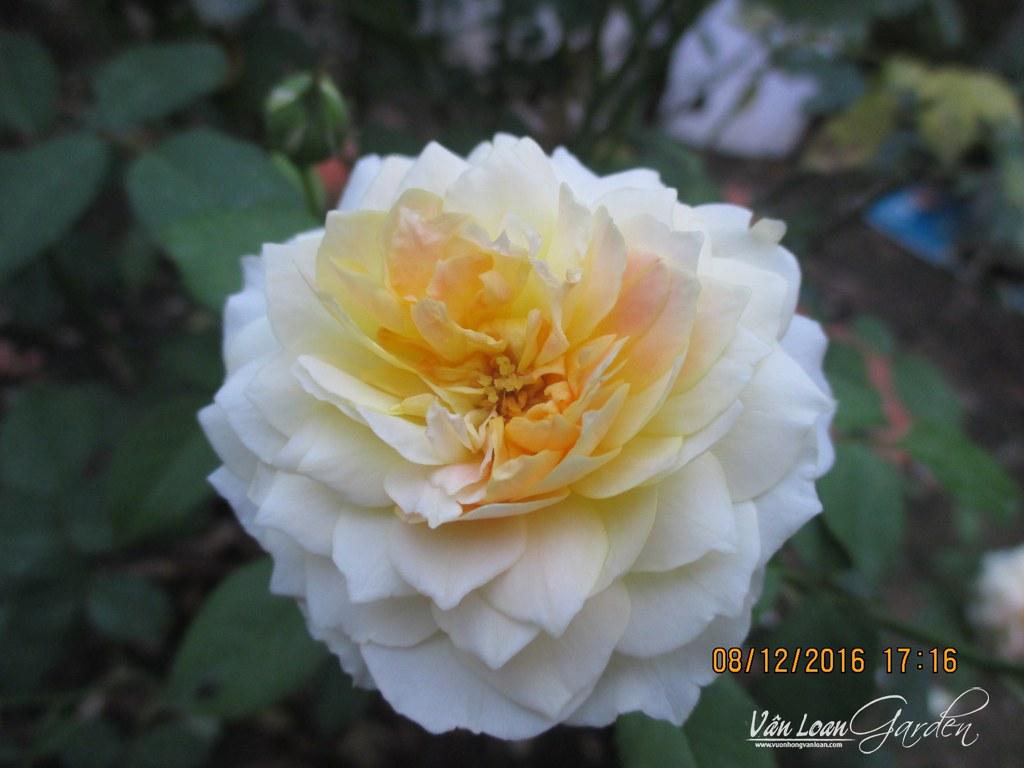hong molieux hoa hong ngoai (5)-vuonhongvanloan.com