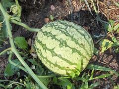 figleaf gourd, plant, fruit, melon, gourd,
