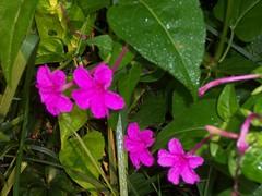 shrub(0.0), four o'clock flower(0.0), busy lizzie(0.0), annual plant(1.0), flower(1.0), plant(1.0), wildflower(1.0), flora(1.0), four o'clocks(1.0),