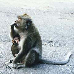 baboon(0.0), japanese macaque(0.0), animal(1.0), monkey(1.0), mammal(1.0), fauna(1.0), old world monkey(1.0), macaque(1.0),