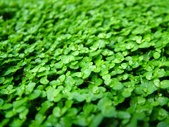 annual plant, leaf, herb, green, groundcover,
