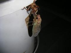 cicada emerges-9