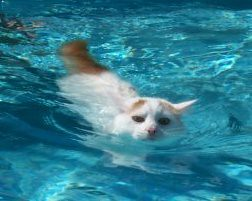 swimming% turkish van cat | Flickr - Photo Sharing!