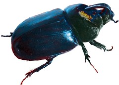 arthropod, animal, japanese rhinoceros beetle, rhinoceros beetle, invertebrate, insect, dung beetle, leaf beetle,