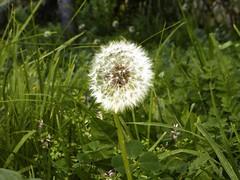 thistle(0.0), daisy(0.0), silybum(0.0), prairie(1.0), dandelion(1.0), flower(1.0), grass(1.0), plant(1.0), nature(1.0), wildflower(1.0), flora(1.0),