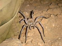 tarantula(0.0), arthropod(1.0), animal(1.0), spider(1.0), invertebrate(1.0), macro photography(1.0), fauna(1.0), close-up(1.0), wolf spider(1.0),