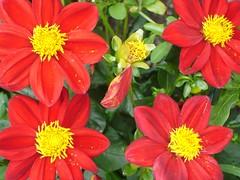 annual plant, flower, yellow, marguerite daisy, macro photography, flora, petal,