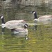 Cackling Goose and Canada Geese by terrygray
