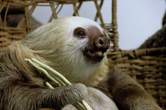animal, sloth, mammal, fauna,