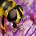 Hoverfly Myathropa florae enlargement by Lord V