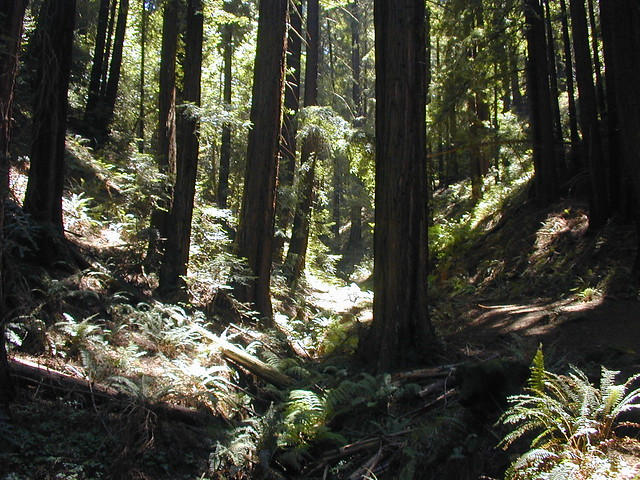 Redwood forest in Oakland