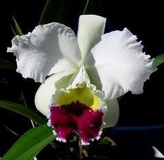 laelia(0.0), cattleya labiata(1.0), flower(1.0), plant(1.0), orchid family(1.0), flora(1.0), cattleya trianae(1.0), petal(1.0),