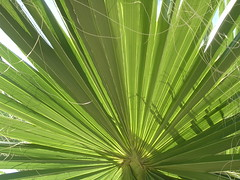 flower(0.0), plant(0.0), plant stem(0.0), arecales(1.0), leaf(1.0), tree(1.0), flora(1.0), green(1.0), saw palmetto(1.0), vegetation(1.0),