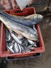 herring(0.0), mackerel(0.0), cod(0.0), bonito(0.0), sardine(0.0), milkfish(0.0), animal(1.0), fish(1.0), fish(1.0), seafood(1.0), forage fish(1.0), oily fish(1.0), food(1.0),