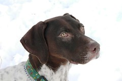 braque d'auvergne(0.0), dog breed(1.0), animal(1.0), dog(1.0), pet(1.0), mammal(1.0), pointer(1.0), german shorthaired pointer(1.0),
