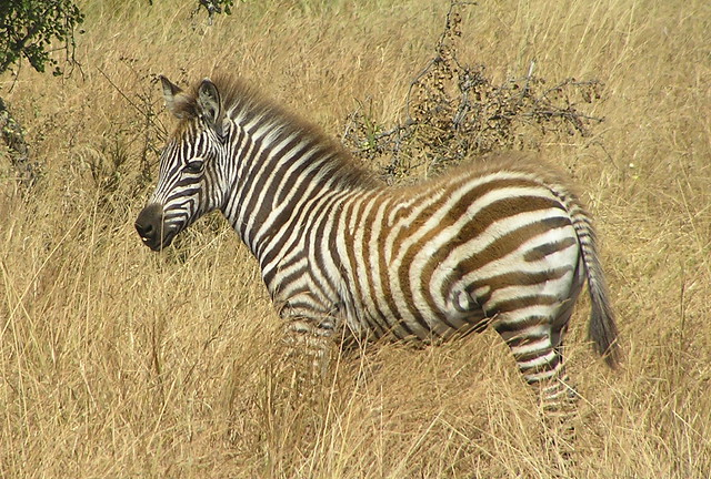 Young zebra | Flickr - Photo Sharing!