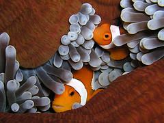 Finding Nemo (Anemonefish - Clownfish)