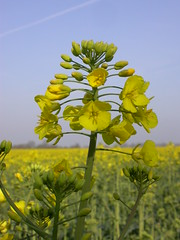 vegetable(0.0), food(0.0), canola(1.0), prairie(1.0), flower(1.0), field(1.0), yellow(1.0), mustard plant(1.0), brassica rapa(1.0), plant(1.0), mustard(1.0), wildflower(1.0), flora(1.0), rue(1.0), meadow(1.0), rapeseed(1.0),