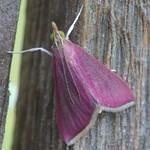 Pink moth, aka Southern Crimson moth