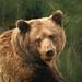 Brown bear by madbronny52