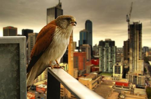 urban raptor