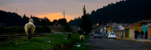 road trees sunset people cars mexico calle arboles sheep gente tracks carros borrego 13 oveja vias lamarquesa