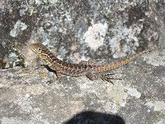 smooth newt(0.0), animal(1.0), newt(1.0), reptile(1.0), lissotriton(1.0), lizard(1.0), gecko(1.0), fauna(1.0), lacertidae(1.0), scaled reptile(1.0), wildlife(1.0),