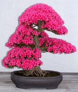 Azalea bonsai      10,000 views!