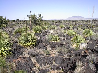 Yuccas and Lava