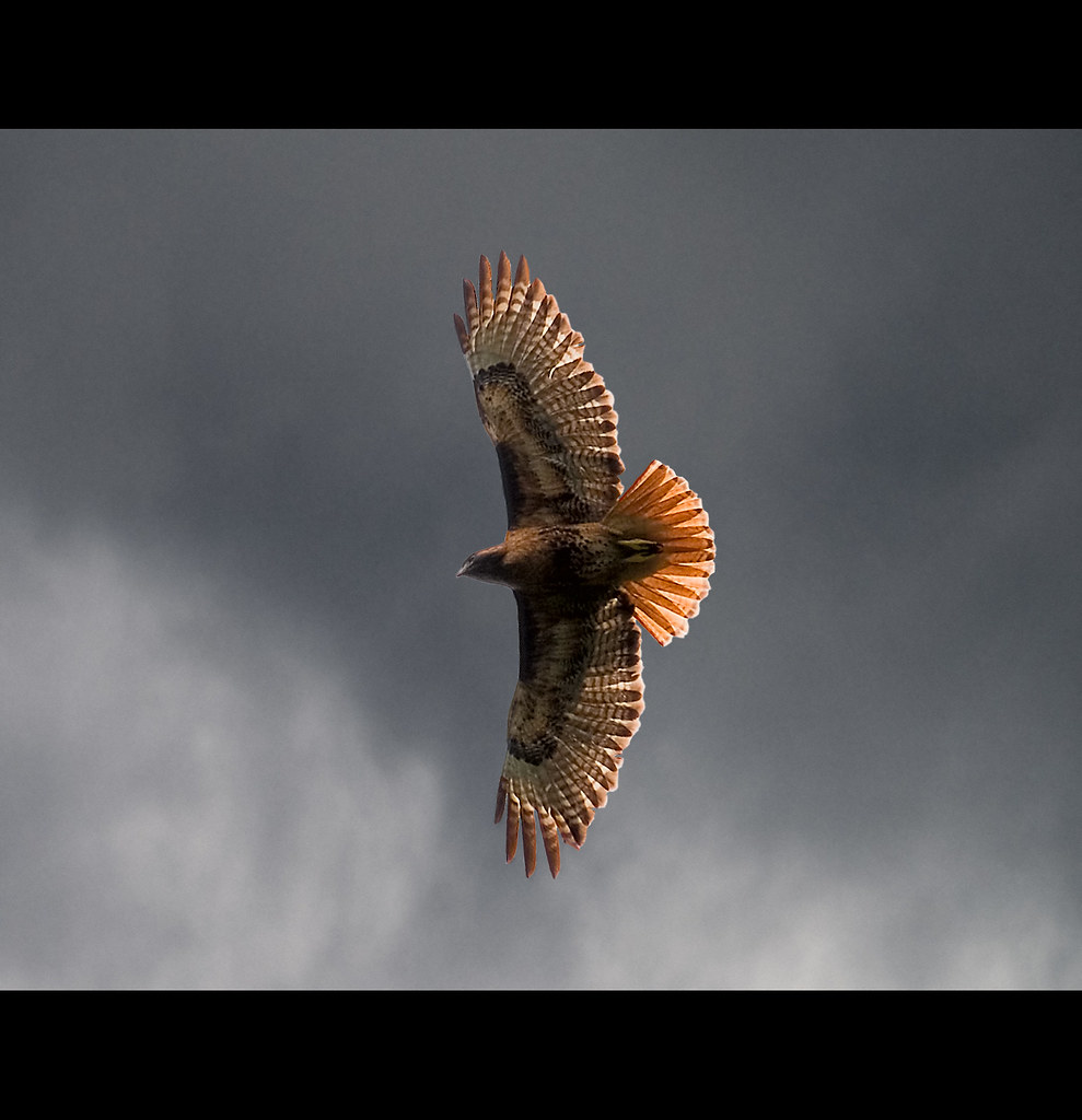 Red Tail Sky