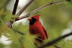 animal, perching bird, branch, nature, fauna, finch, close-up, cardinal, beak, bird, wildlife,