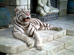 white tigers 4